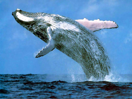 "Humpback Whale – ""Crucifix Block"""