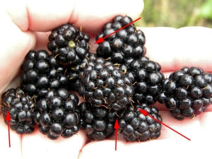 Blackberries with hairs