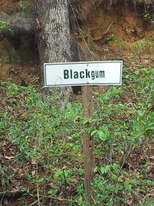 Blackgum